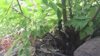 Download Tarantula Wasp Video