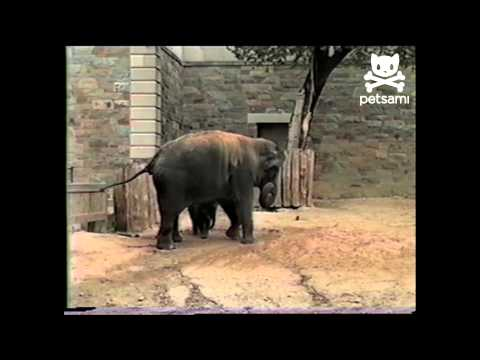 Giant elephant scared of tiny squirrel