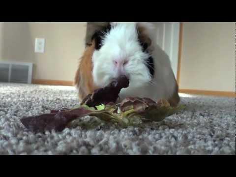 ♥ Adorable Guinea Pig ♥