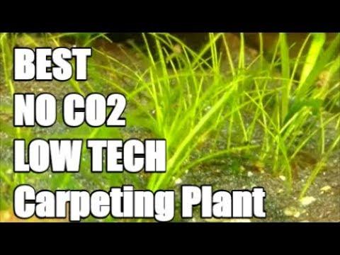 BEST Aquarium Carpeting Plant Without Co2? - Dwarf Hairgrass