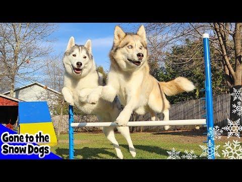 Husky Agility Challenge | Can Huskies do Agility | Dog Agility Course