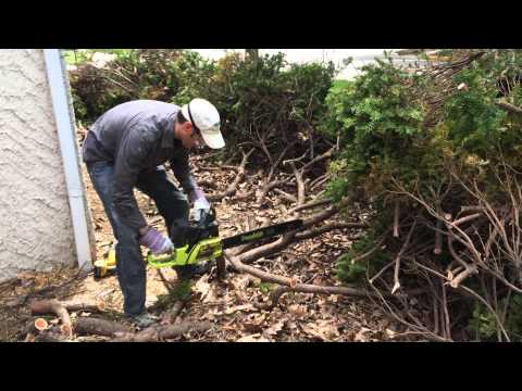 Using a Chainsaw to Prune and Renovate Yew Bushes