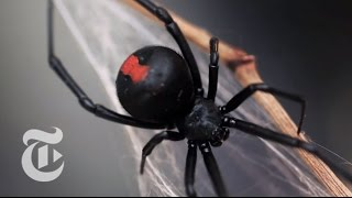 Download An Encounter With a Black Widow Spider | The New York Times Video