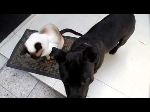 Young Stafforshire Bull Terrier hangs out with Siamese Cat.