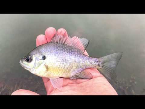 Winter Bass and Bluegill Fishing