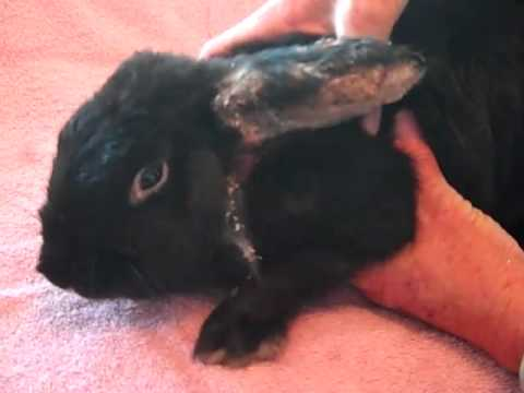 Rabbit with massive mite infestation is rescued by Harvest Home Animal Sanctuary - Day 1