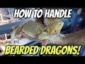 How To Handle Bearded Dragons