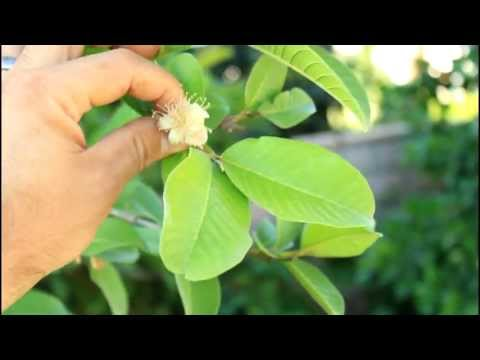 How to Grow a Guava Tree in California