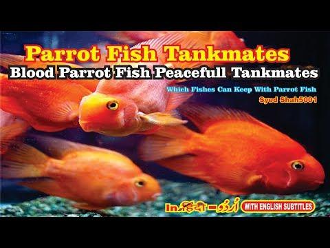 Parrot Fish Tank Mates Blood parrot cichlid tank mates peacefull tankmates