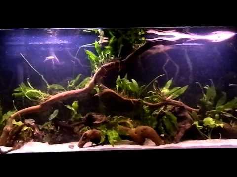 55 Gallon Planted Tank  - Brown Algae Problem