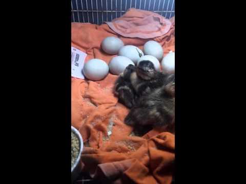 Mallard baby ducks hatching!