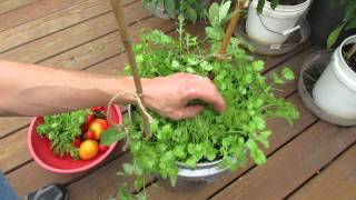 Harvesting Growing Cilantro In 5 Gallon Containers My 1st Vegetable G