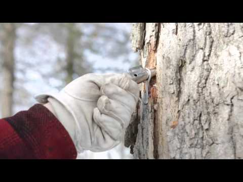 Making Maple Syrup: Tapping Your Trees