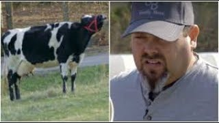 This Dairy Cow Just Wouldn't Stop Crying  So Her Owner Visited Her Old Farm To Uncover The Truth