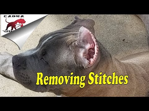 How To Remove Your Bully's Ear cropping Stitches at Home