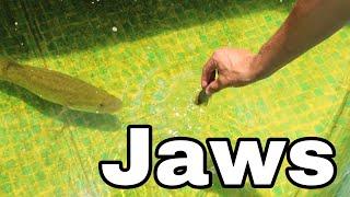 Fish TRAP Feeds BABY JAWS BATTLE IN AQUARIUM!!
