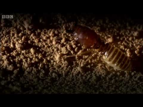 Defending the ant nest from intruders | Ant  Attack | BBC
