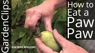 Paw Paw Tree - Asimina triloba - How to grow and eat the Paw-Paw