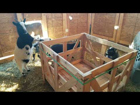 Goats Being Curious