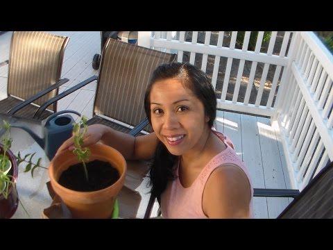 How to Propagate Herbs from Cuttings, Oregano, Mint, Thai Basil, Lemon Balm