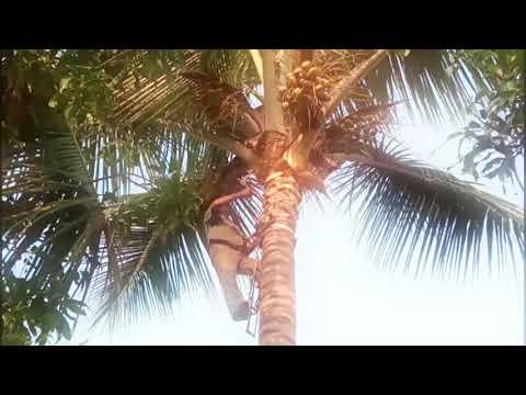 Coconut Tree cutting !!!