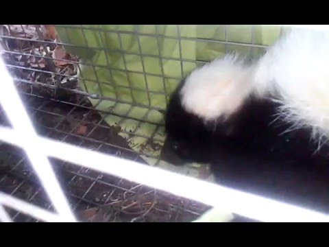 Catching and releasing a skunk in a Havahart trap #1
