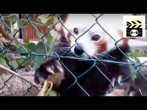 Red panda vs. bamboo: did you know that red pandas eat bamboo too?