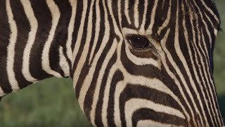 Why Are Zebras Black and White?   Wild Lands: South Africa   BBC Earth