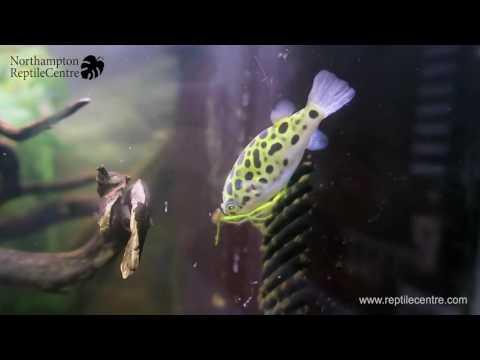 Feeding River Shrimp to Green Spotted Pufferfish (Tetraodon nigroviridis)