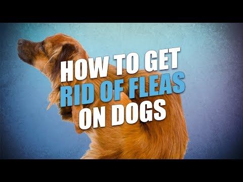 How To Get Rid Of Fleas On Dogs