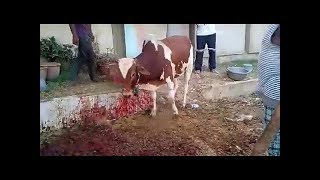 Download dangerous cow.cow attack on people. Angry Cow Attack Qurbani 2018 Video