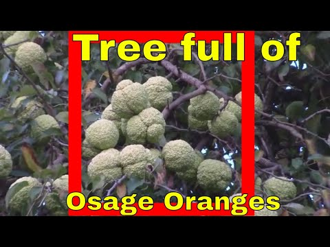 Big Osage Orange on Tree Identification Hedge Apple Horse Fruit Picking Dallas TX Texas USA Plant