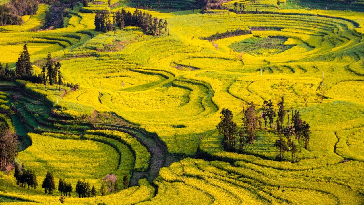 These are China's 'fields of gold'