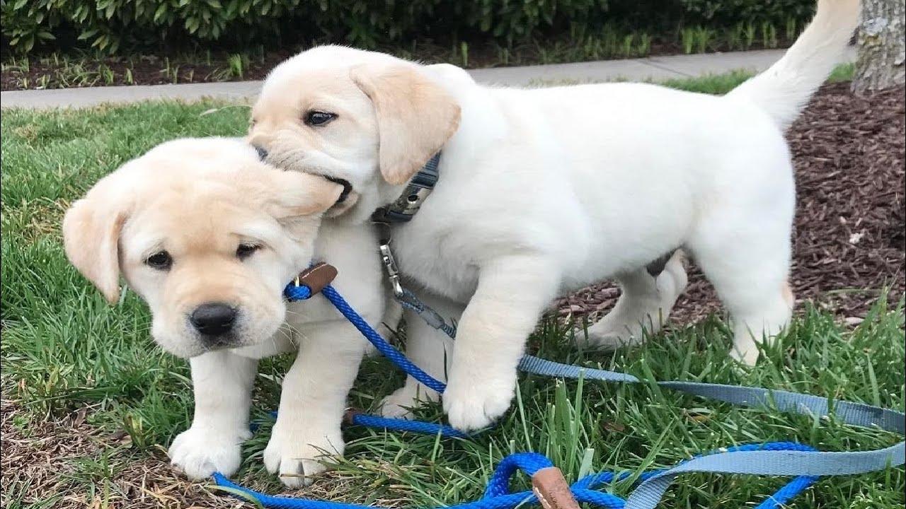 Funniest & Cutest Labrador Puppies #2 - Funny Puppy Videos 2020
