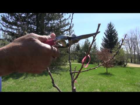 Training an Apricot Tree Year 1