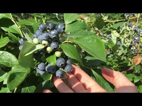 Noda Blueberry Farm Meriden, NH - Patio Gardeners on Vacation 2016