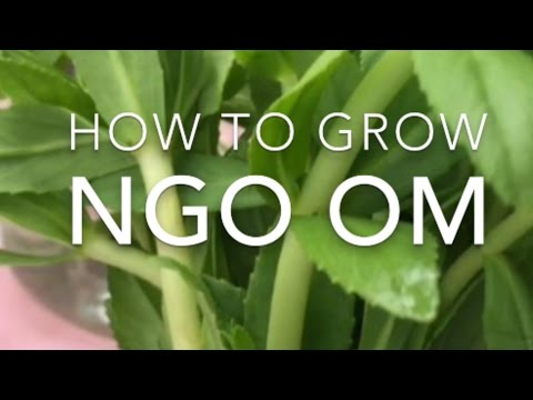 How to Grow Ngo Om (Rice Paddy Herb) bought from the Grocery Store: Part 1
