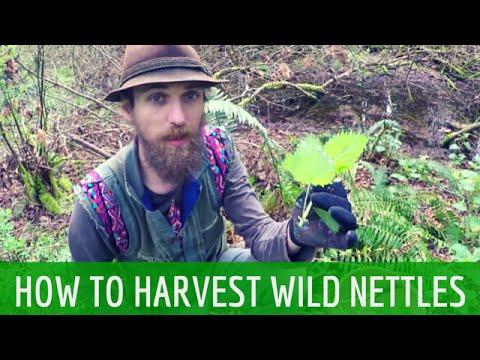 How to Harvest Wild Stinging Nettles | Harmonic Arts