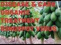 papaya plant disease , care and treatment