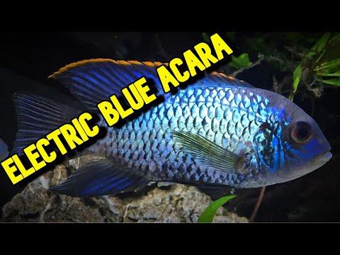 Species Spotlight Electric Blue Acara