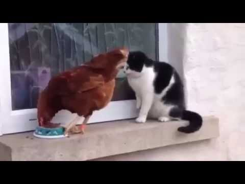 Cat and chicken are fighting for food
