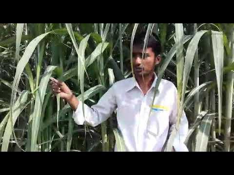 Netsurf Result On Sugarcane In Aonla Bareilly