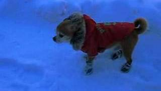 Chihuahua in new snow boots