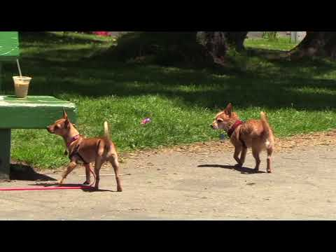Dogs playing Duboce Park San Francisco 6 2 6 3 2018