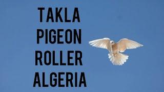 Taklacı Guvercinler in algeria