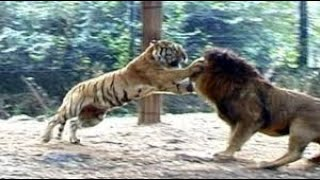 Download Lion Vs Tiger Real Fight to Death New Original HD Video