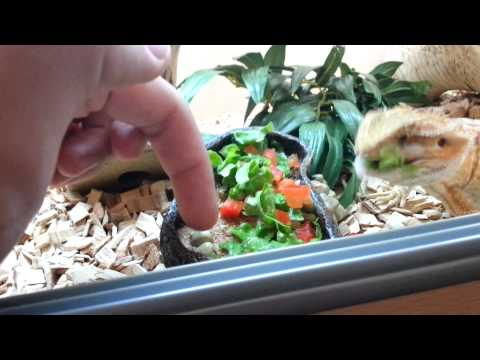 BABY BEARDED DRAGON EATING VEGETABLES!