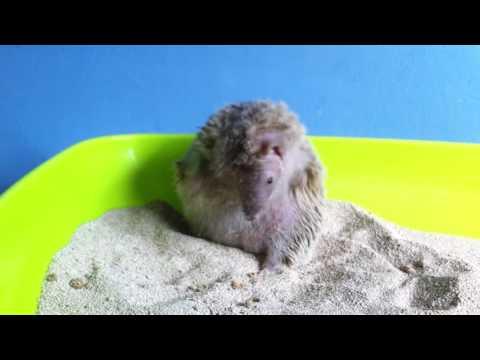 Tenrec sandbathing