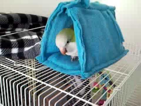 Phoenix Quaker Parrot talking