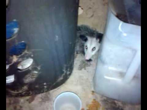 Baby Possum on My Back Porch